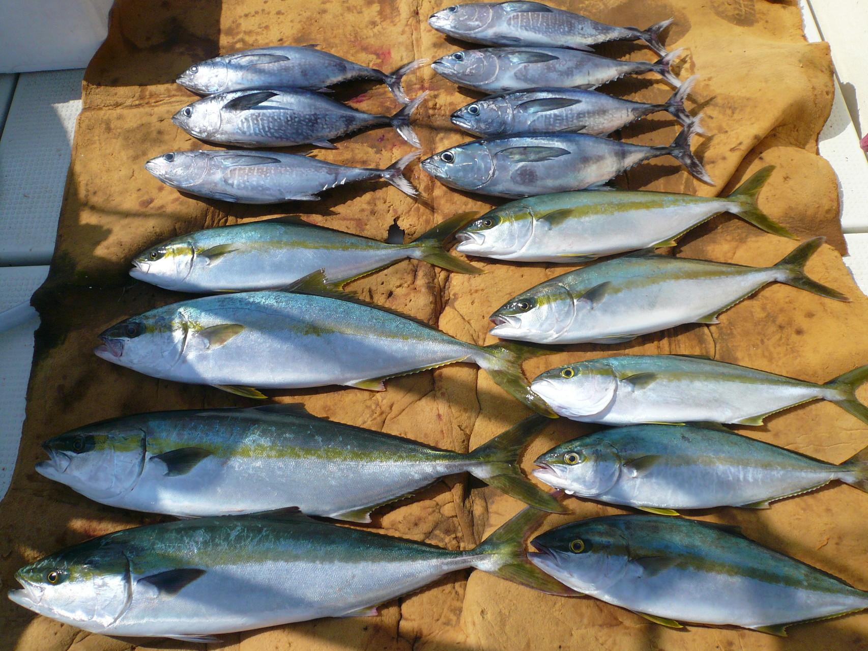 8月22日久しぶりに出漁ワラサ・ヒラマサ・ヒラゴ・カツオ