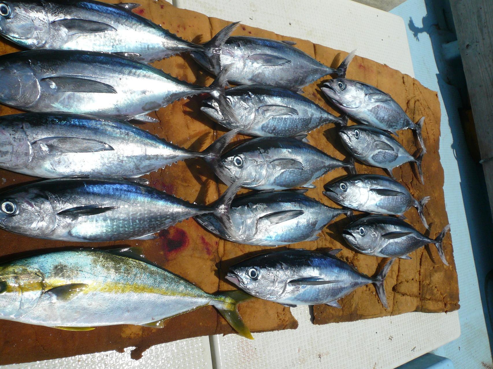 8月12日沖の瀬のポイント カツオ入れ食い30余り