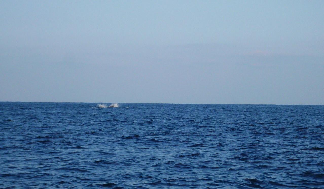 3月12日 最悪です イルカの大群 最後尾はシャチが追っかけています益々最悪です