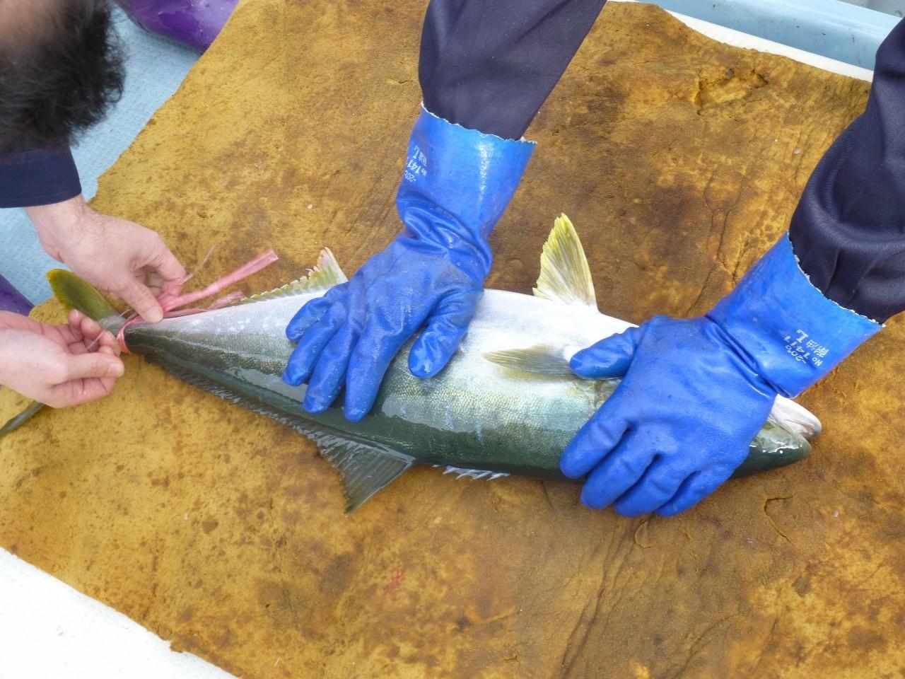ヒラマサ3kg×1匹 活魚で漁連へ