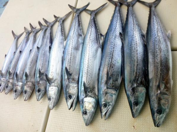 12月29日11時までの釣果 正月の魚送るためサワラにサゴシ