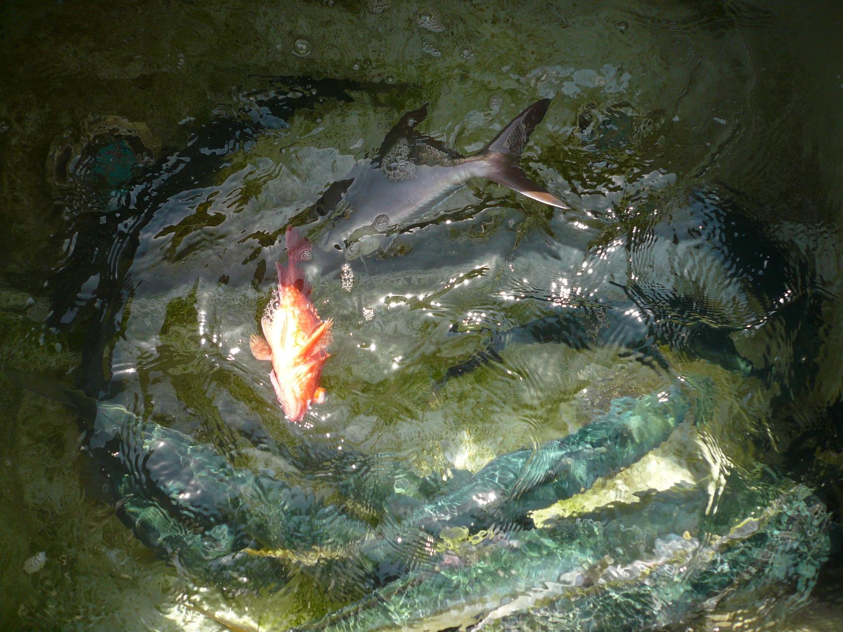 5月18日今日の釣果 ワラサ×4匹 ヒラマサ・ヒラゴ×11匹。カンパチ1匹