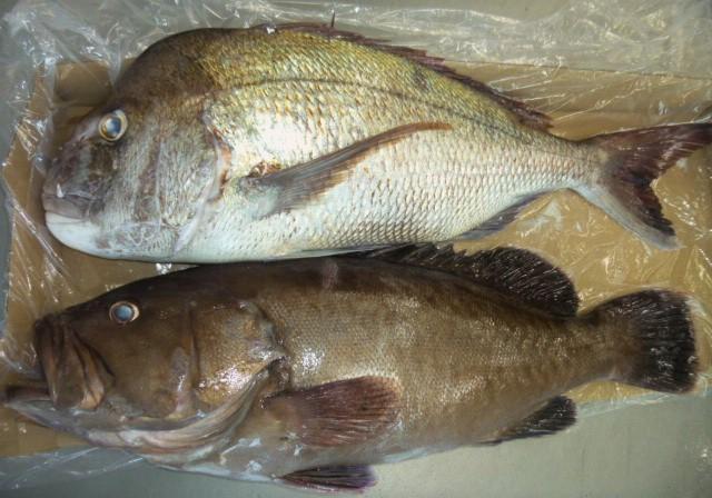 8月12日お盆の魚アラ5.8㎏ 真鯛5.3㎏ 漁礁で