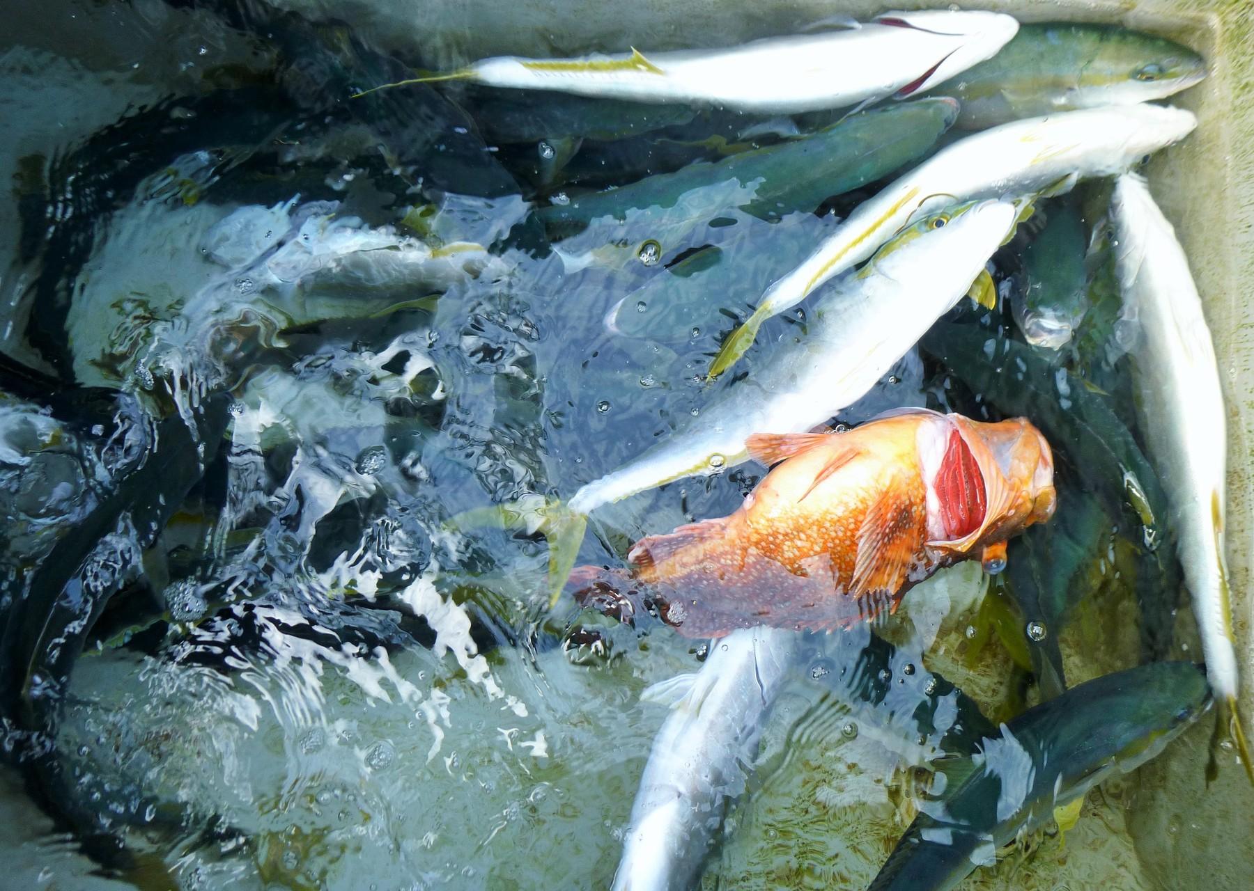 3月5日今日の釣果とウッカリカサゴ