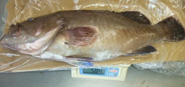 8月12日お盆の魚アラ5.8㎏ 漁礁で