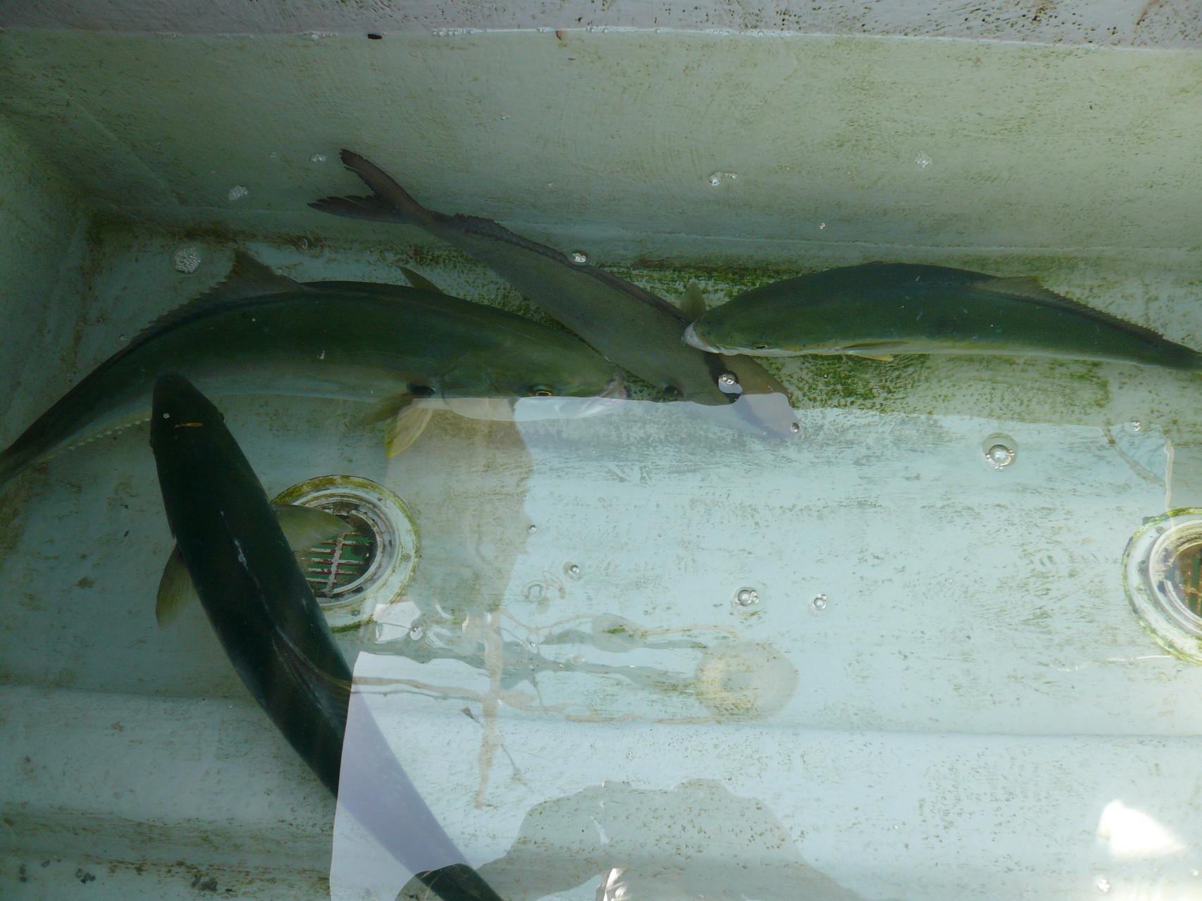 5月31日ワラサ×4匹 ヤズゴ×4匹 丸生簀のなかへ 残りは池間の中ヒラマサ・ヒラゴ・カンパチ