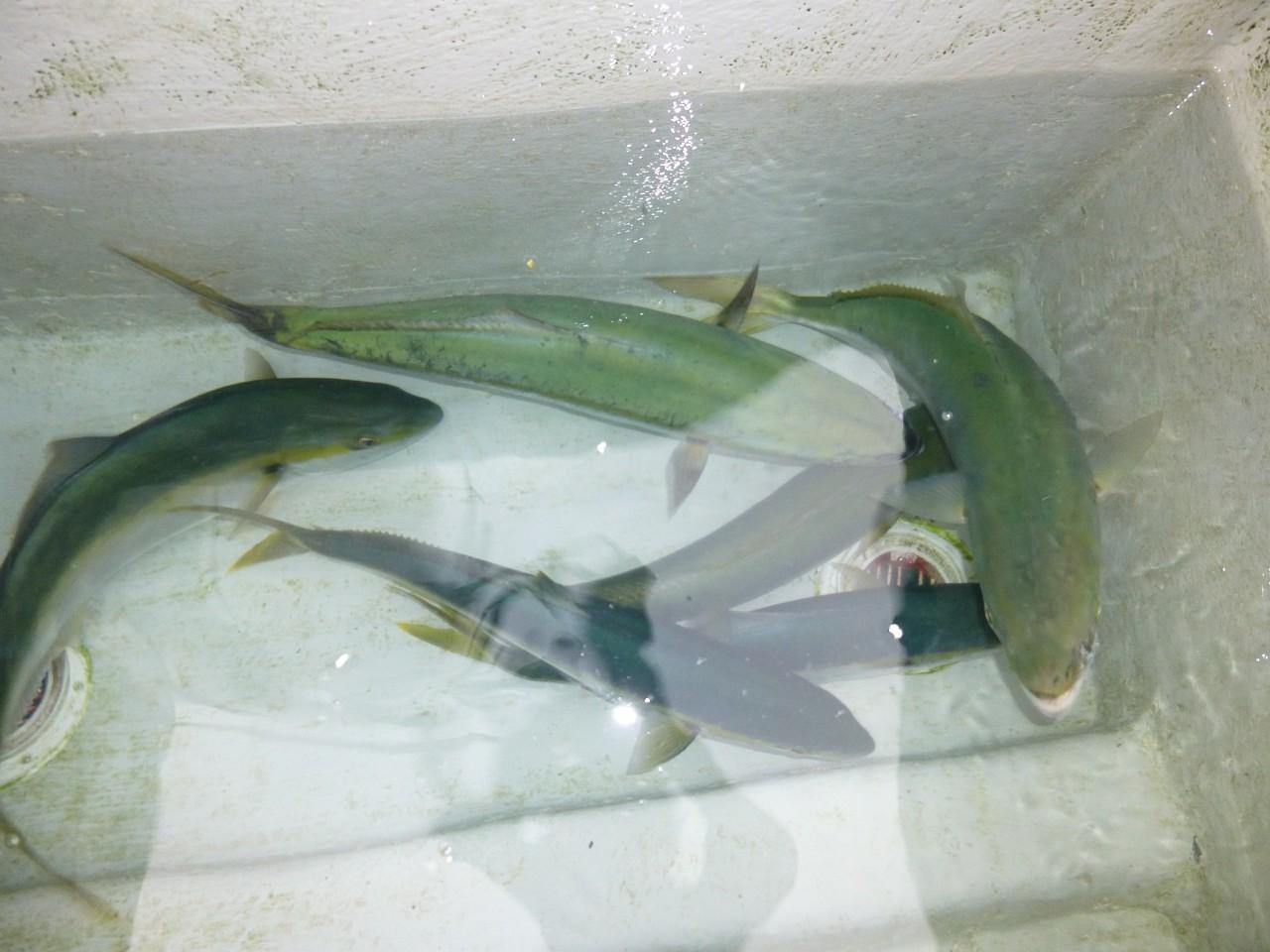 12月28日今日の池間の中の釣果