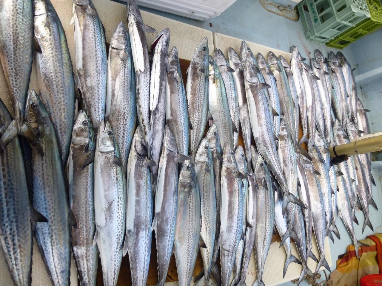 1月20日漁師さんに混じてサワラ狙い 50匹余りゲット