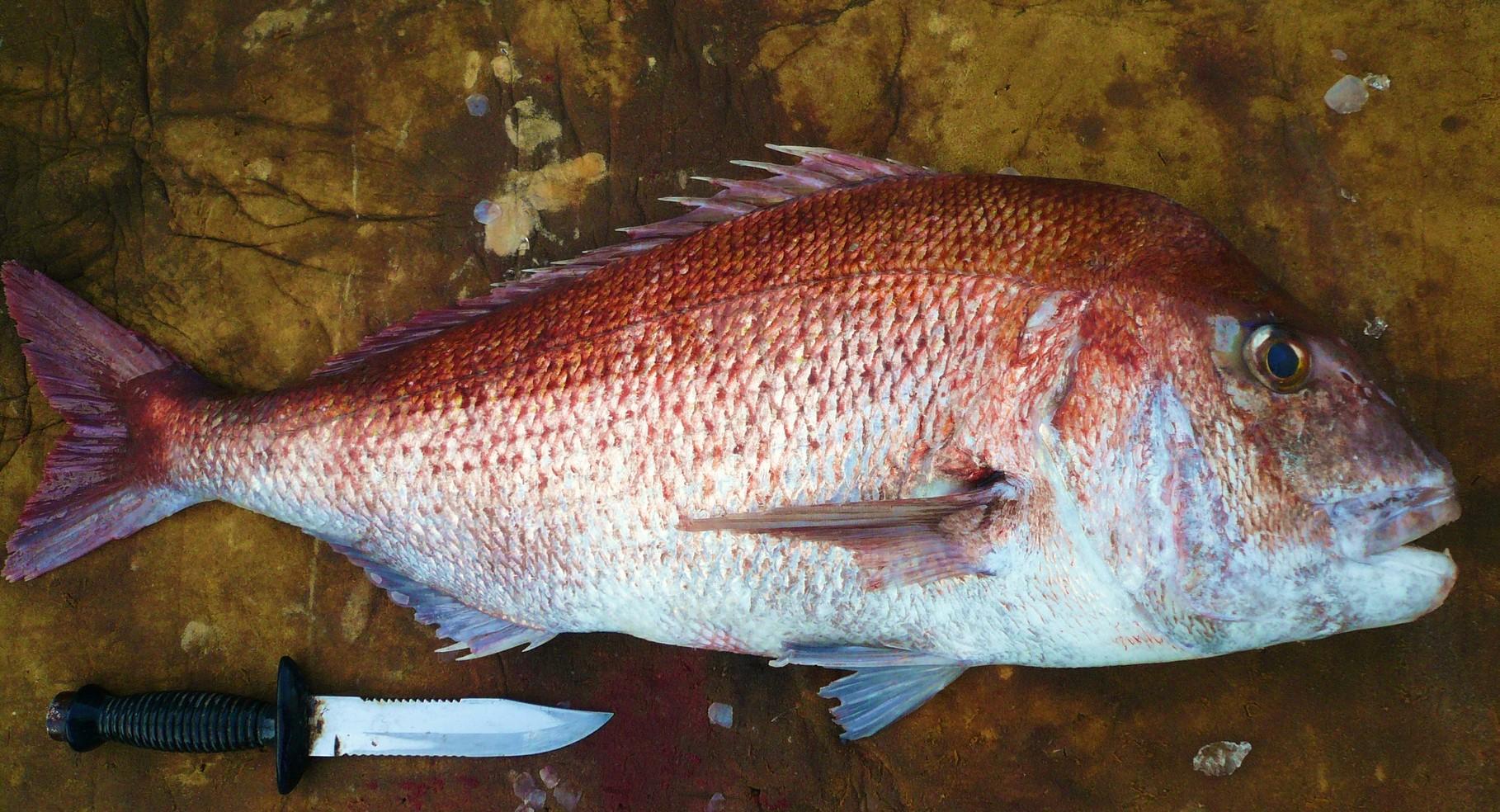 1月11日6kg超え 真鯛