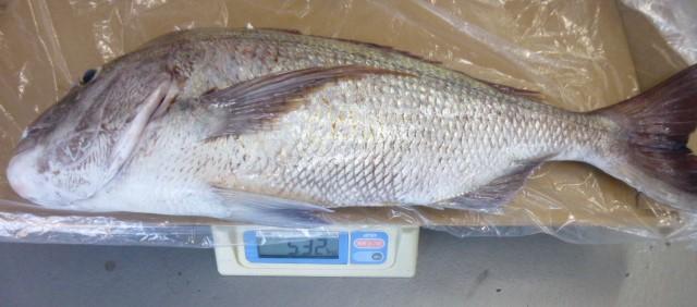 8月12日お盆の魚 真鯛5.3㎏ 漁礁で