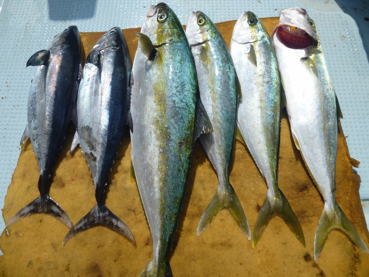 ヒラマサ2.8㎏ (3kg超えのヒラマサまだ釣れず)