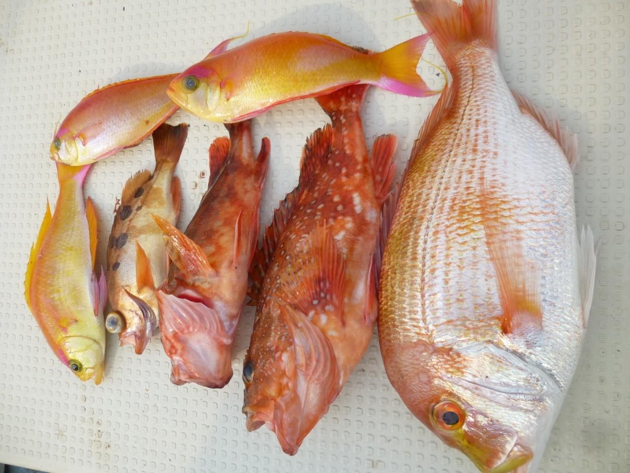 4月24日東側漁礁潮が動かず今日もレンコ鯛・アラカブ他