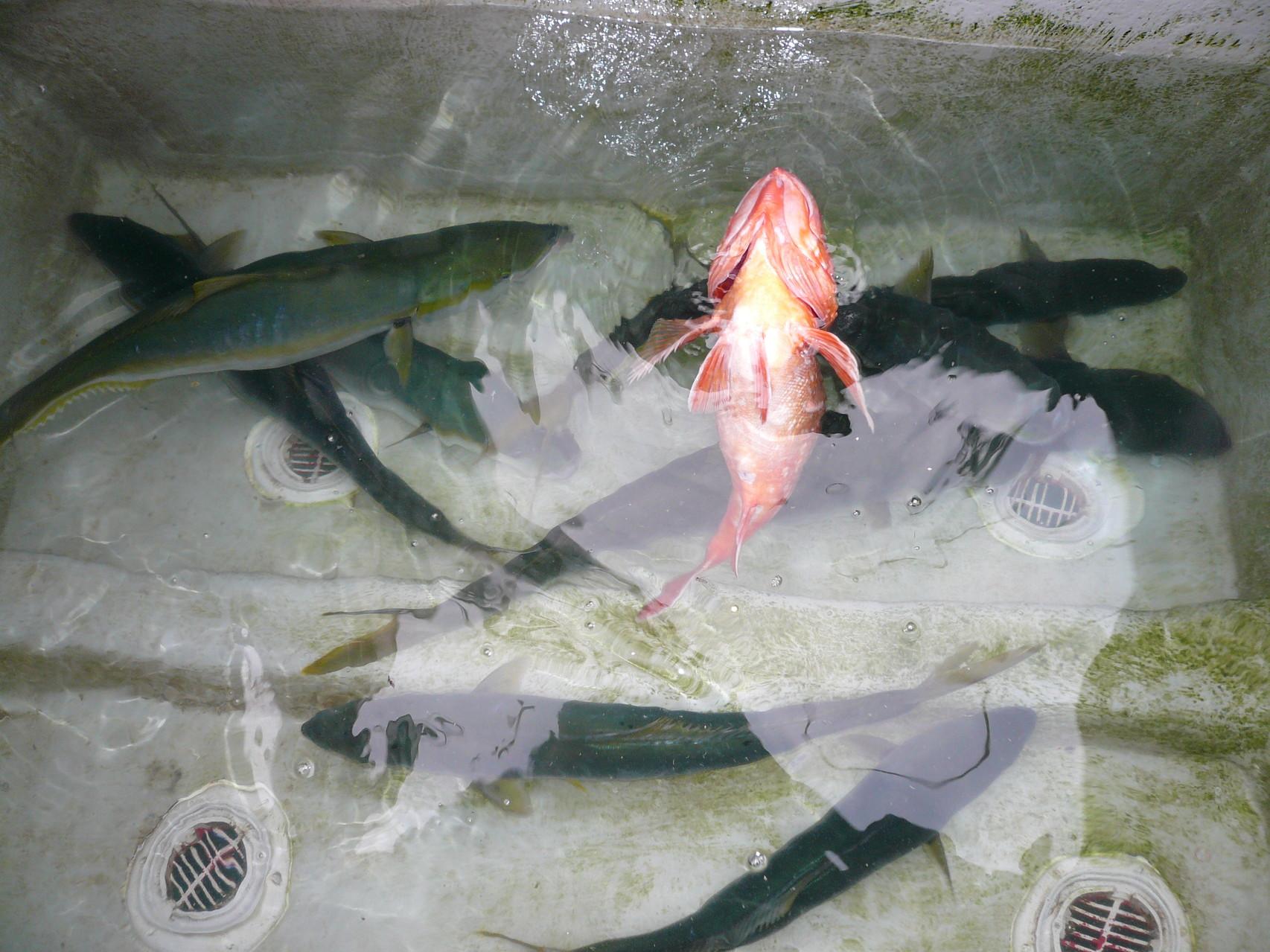 3月28日 残りの池間 ヒラマサ・ヒラゴ カサゴ1.55kgいいサイズ