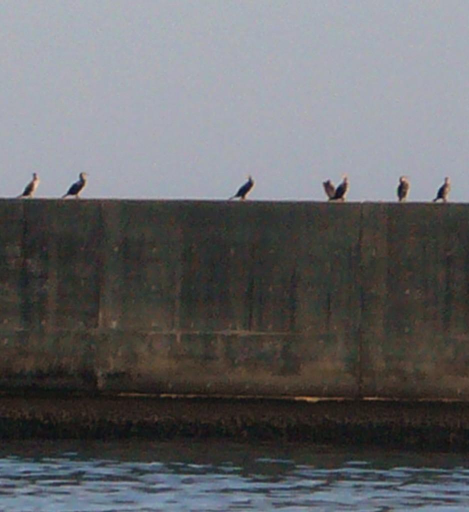 11月25日 う (鵜飼いの う)防波堤で休息中