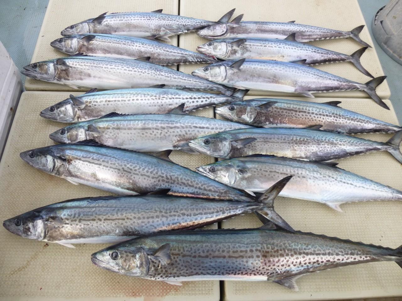 1月5日初釣り サワラ 7.5㎏・6.5㎏。6.3㎏ 他3kg超え×11匹