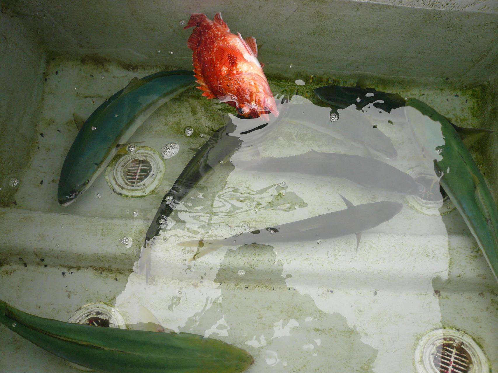 6月23日今日の釣果 ワラサ3匹 ヒラゴ×5匹 アラカブいいサイズ