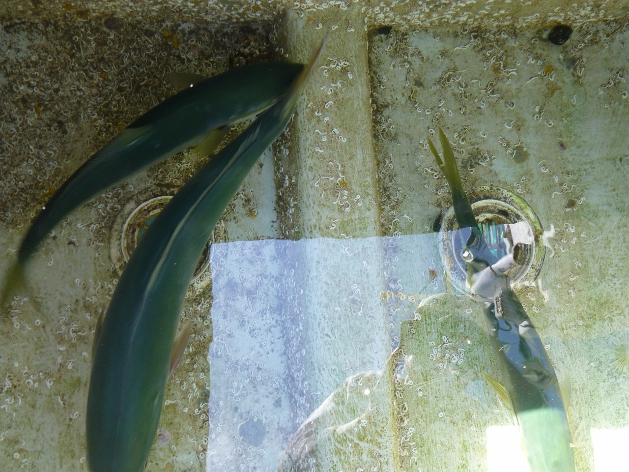 9月21日今日の釣果 潮の動きえ悪しワラサ・ヒラゴ