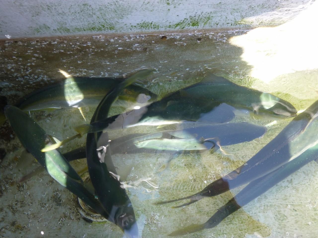 9月20日今日の釣果 ヒラマサ・ワラサ・ヒラゴ