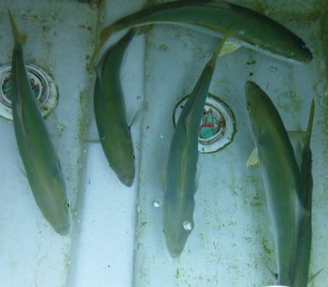 8月12日お盆の魚 漁礁へ