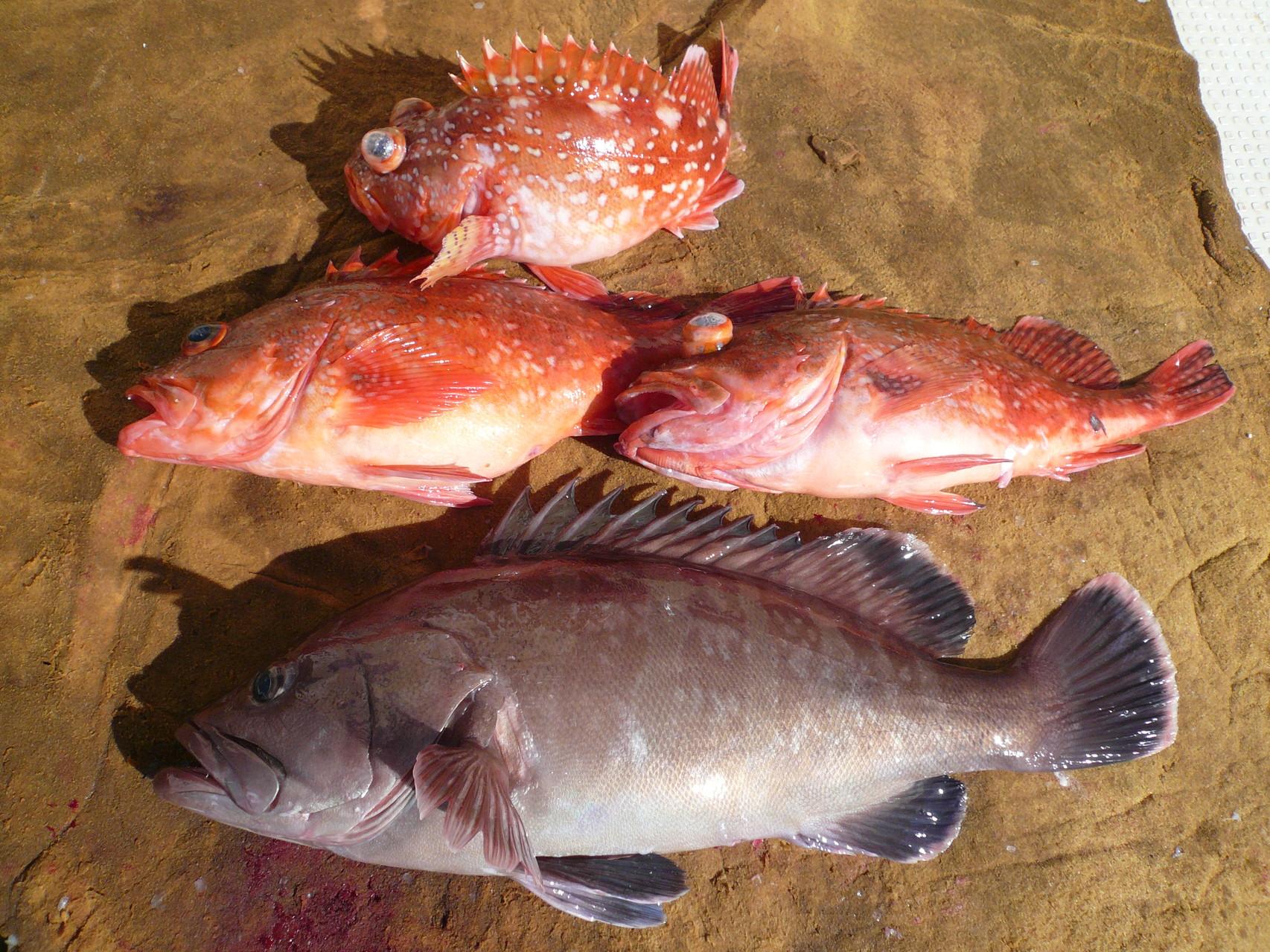 1月27日 インチクで根魚釣り
