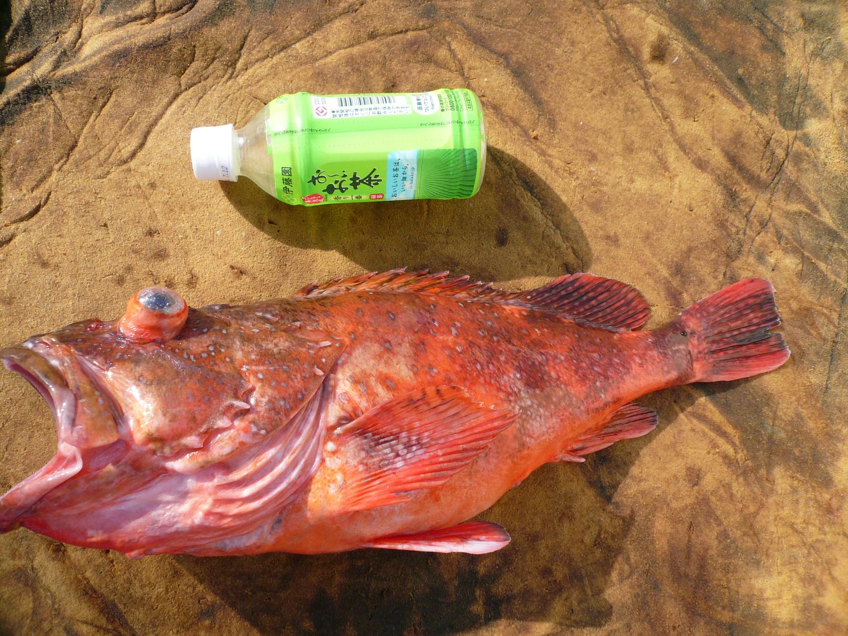 4月8日三界のポイント・タイ釣り場 ウッカリカサゴ・1.9kg いいサイズ
