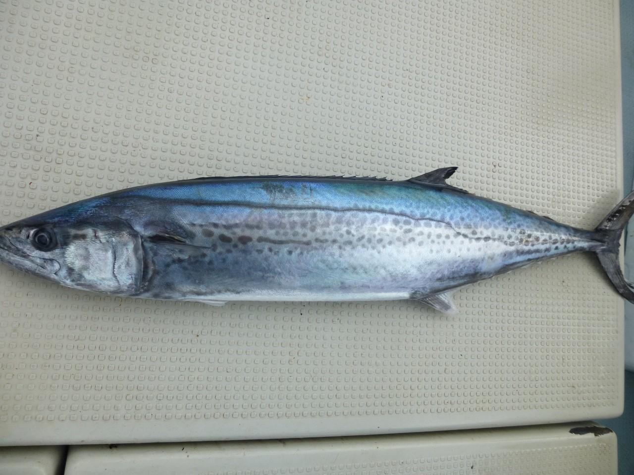 12月19日サワラ4.2㎏ゲット 〆て漁協へ