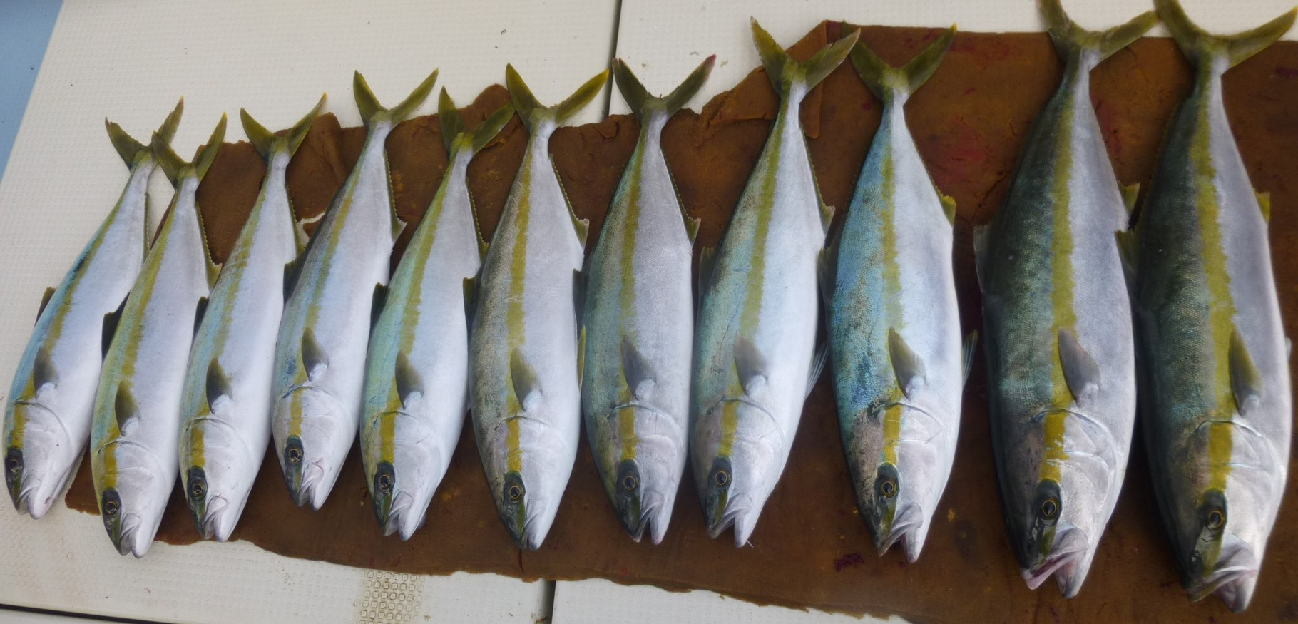12月15日ヒラマサ・ヒラゴ今日の釣果