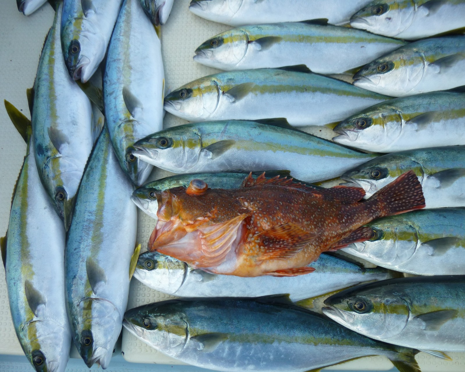 3月5日今日の釣果ウッカリカサゴ