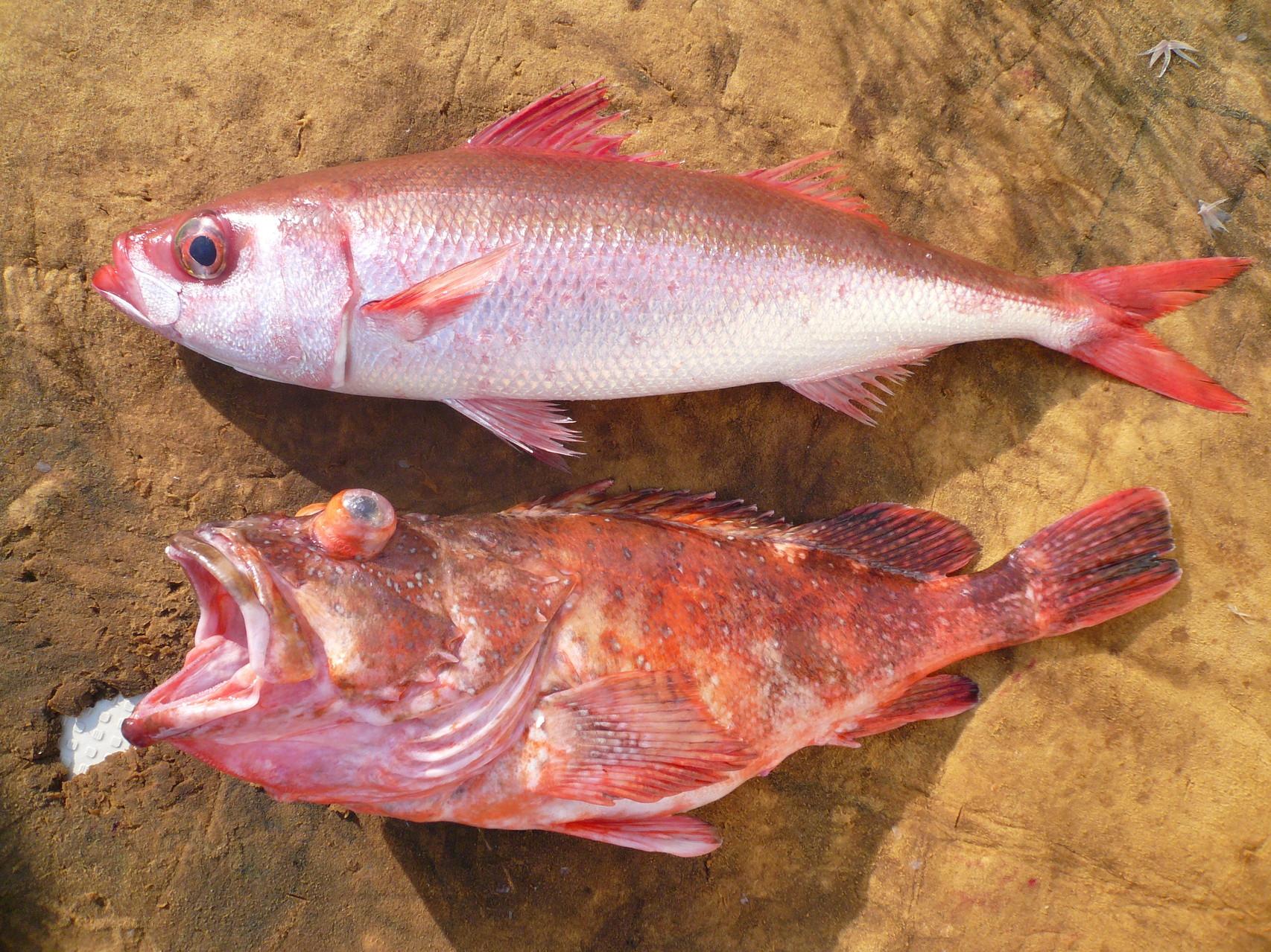 4月8日三界のポイント・タイ釣り場 ハチビキ ・ アラカブ1.9kg 大きいサイズ