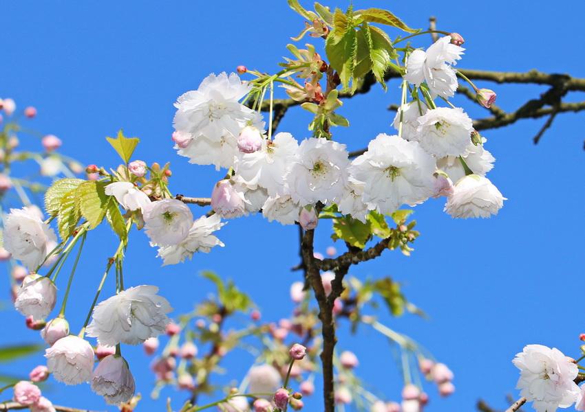 Blütenkirsche, Japanische
