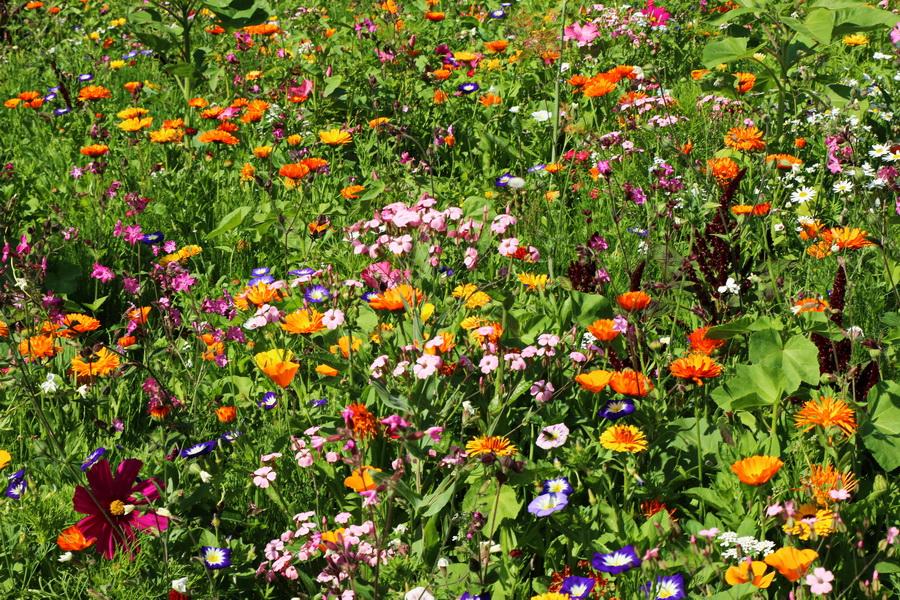Wildblumen im Gruga-Park, Essen.
