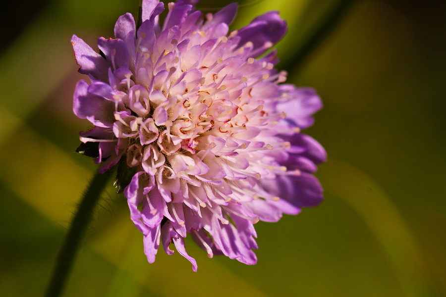 Witwenblume, Wiesen-