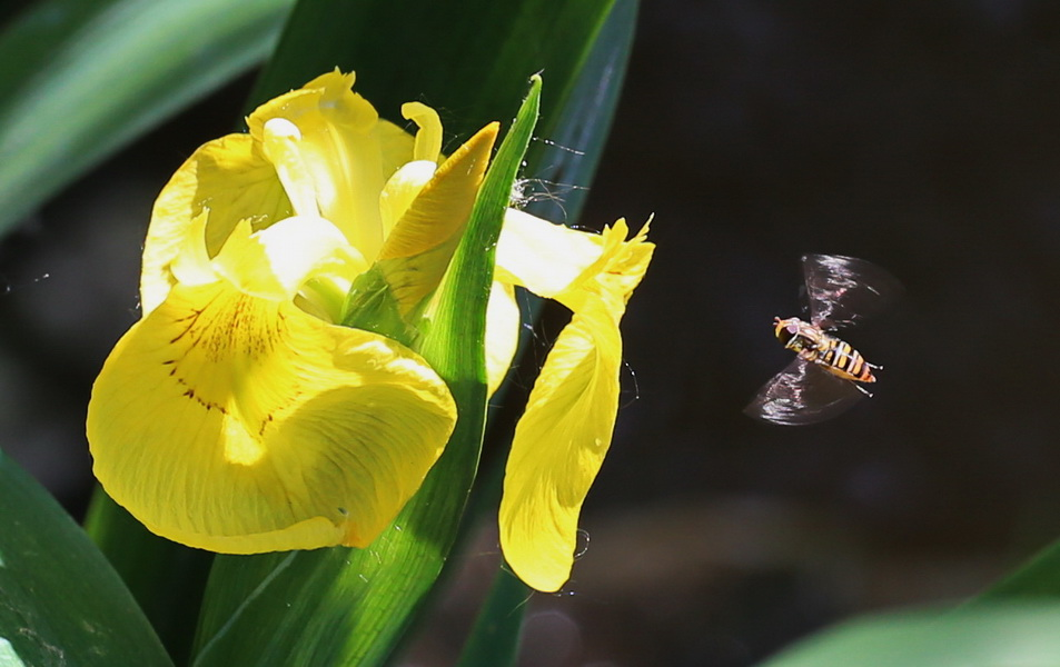 Sumpfschwertlilie