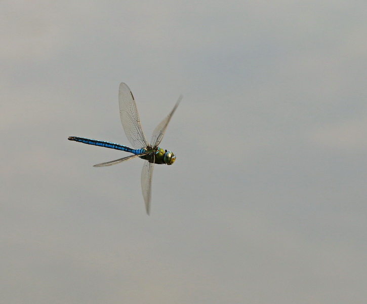Königslibelle, Große