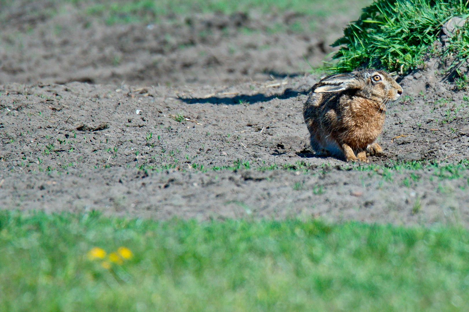 Im Hervester Bruch sind die Hasen auch wieder unterwegs im April 2020.