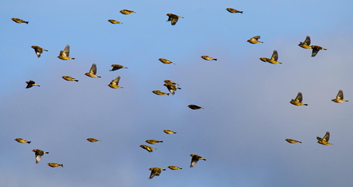 Grünfinken, Buchfinken