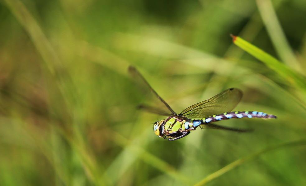 Blaugrüne Mosaikjungfer (im Flug)