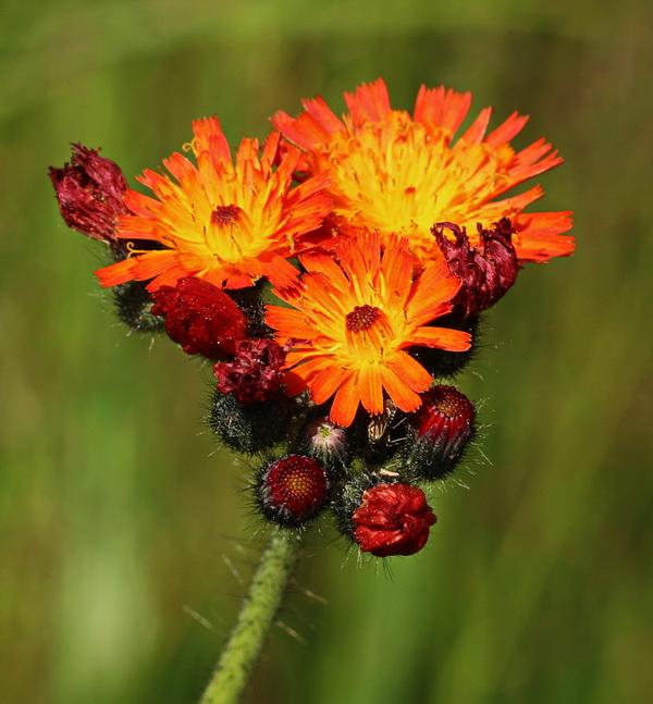 Habichtskraut, Orangerotes