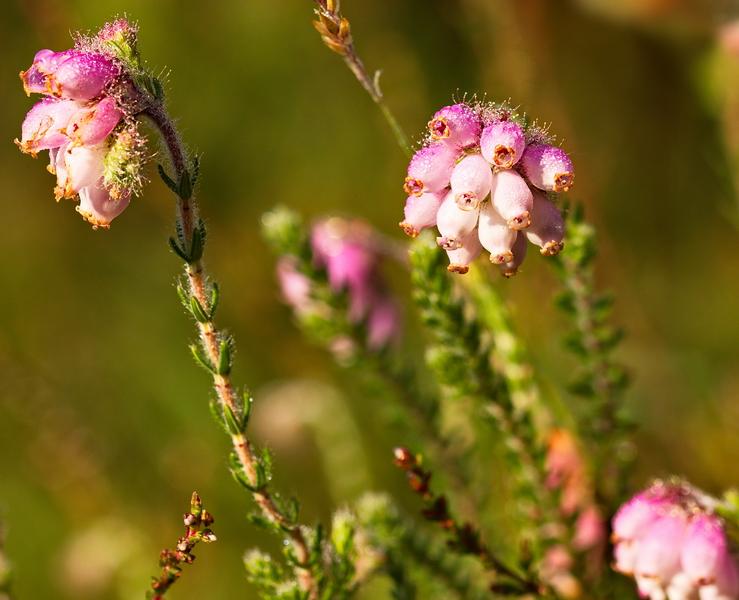 Heide, Glocken-