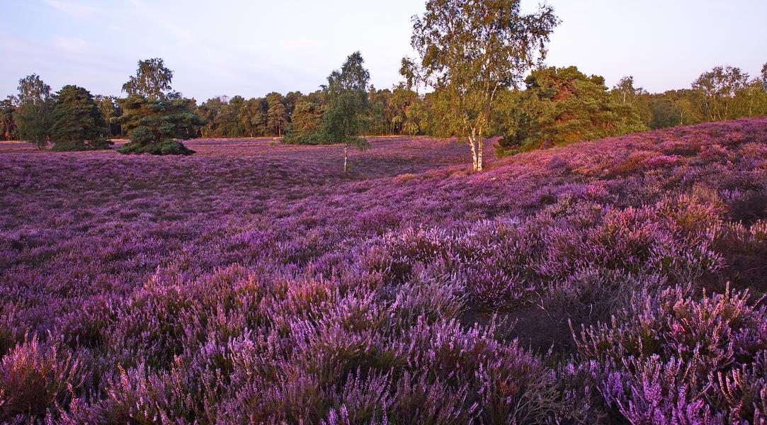Sonnenaufgang Westruper Heide im August 2019
