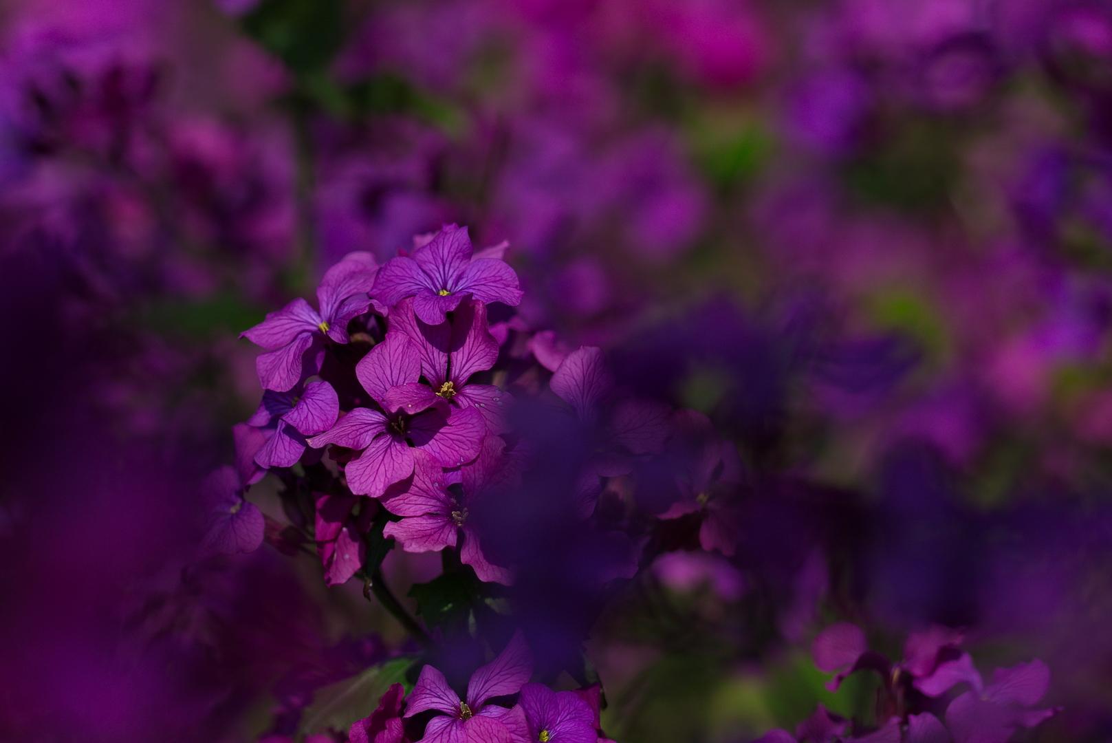 Nachtviole
