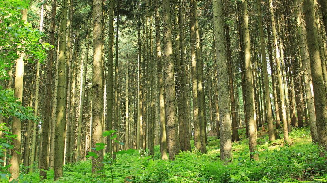 Ein Sommer-Nadelwald