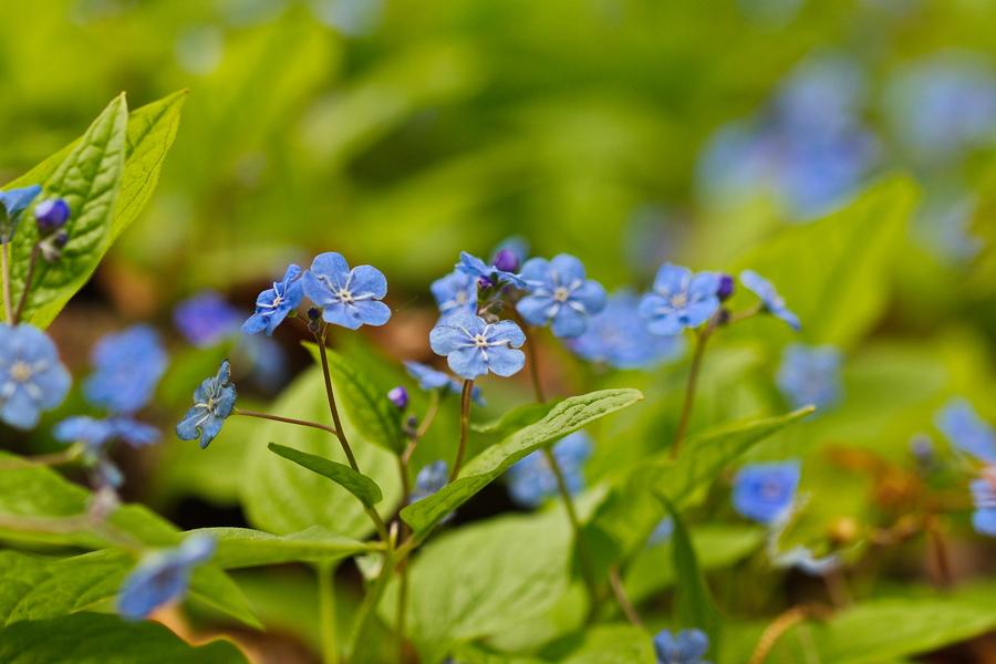 Gedenkemein, Frühlings-