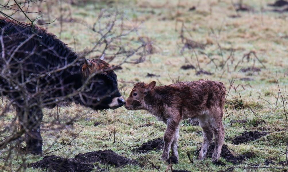 Heckrind-Mama und ihr Junges im Hervester Bruch, Dorsten, sehr niedlich