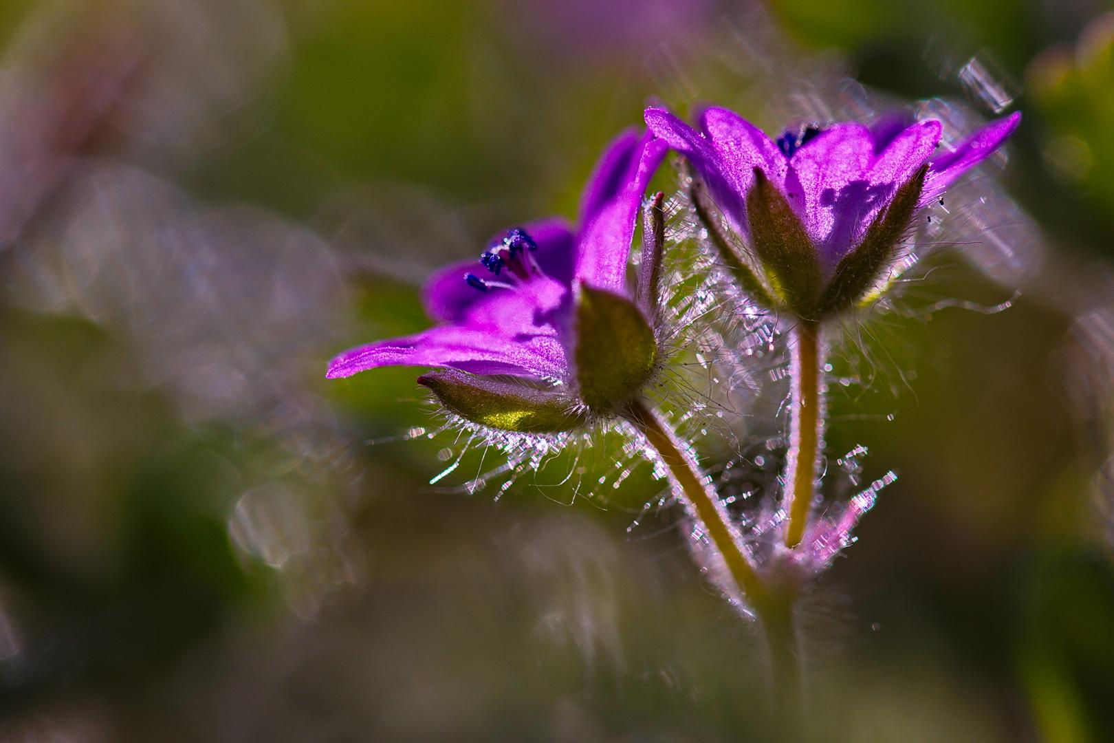 Storchschnabel, Pyrenäen-