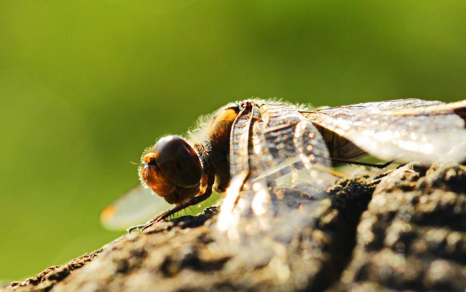 Heidelibelle, Gemeine