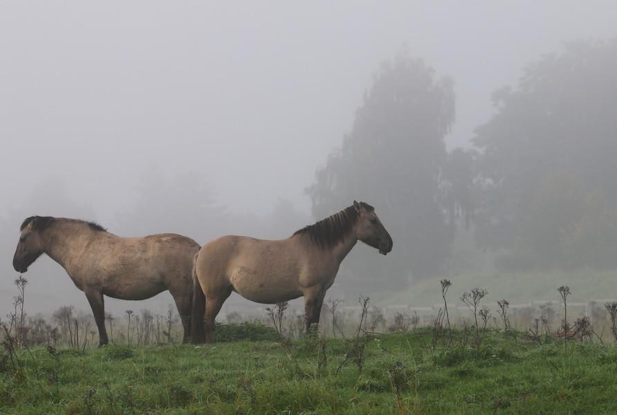 Konik-Pferde morgens in der Steveraue, Olfen.