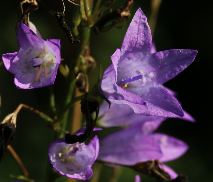 Glockenblume, Rapunzel-
