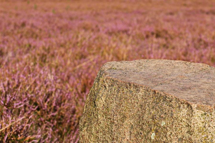 Westruper Heide in voller Blüte.