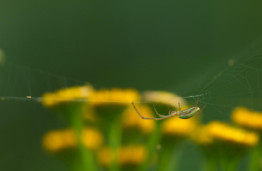 Spinne, unbestimmt